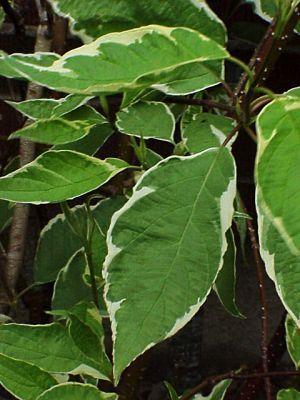 Plantapedia Cornus Alba 39 Elegantissima 39 Silverleaf Dogwood
